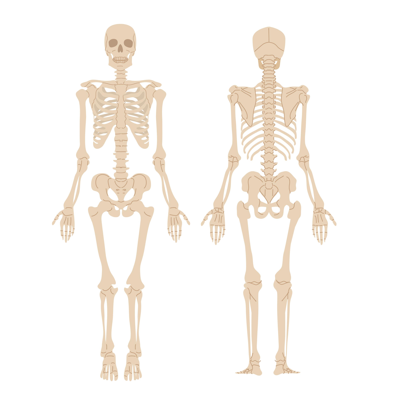 人間の全身の骨のイメージイラスト